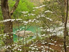 Dogwoods are among my very favorite Ozark scenes in spring!