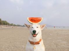 Balancing some watermelon on your head is a paw-fect way to start the day! Happy #Thursday! #glutathejollydog #humor