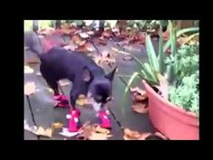 Dogs with booties is always good for a laugh.