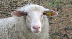 Kempisch heideschaap - Bekijk meer foto's op www.reiskrantreporter.nl/reports/5830