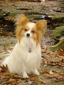 The Papillon (from the French word for butterfly, pronounced: [papiˈjɔ̃]), also called the Continental Toy Spaniel, is a breed of dog of the Spaniel type. One of the oldest of the toy spaniels, it derives its name from its characteristic butterfly-like look of the long and fringed hair on the ears. A papillon with dropped ears is called a Phalène (French for moth).