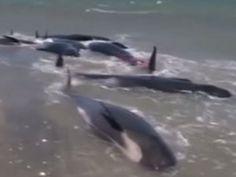 VIDEO - 200 baleines s'échouent sur une plage de Nouvelle-Zélande