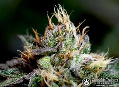 Healthy buds, So beautiful, learn how to grow | theCTU.com