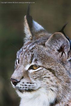 Lynx Cub by amcgdesigns on Flickr