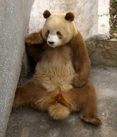 Another Look - Rare Brown Giant Pandas Found in Remote China Mountains