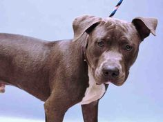 SAFE 7-22-2015 --- TO BE DESTROYED 7/22/2015 Manhattan Center-P  My name is BLUE. My Animal ID # is A1043951. I am a male blue and white pit bull mix. The shelter thinks I am about 7 MONTHS old.  I came in the shelter as a STRAY on 07/14/2015 from NY 11236, owner surrender reason stated was STRAY.