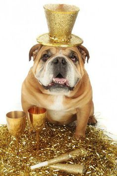 The major breeds of bulldogs are English bulldog, American bulldog, and French bulldog. The bulldog has a broad shoulder which matches with the head. Happy New Year Dog, Dogs And Puppies, Cute Puppies, Bulldog Puppies, Doggies, Bully Dog, Nouvel An, German Shepherd Puppies, Halloween