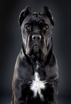 Cane Corso information, facts, and high-quality breed pictures. Learn everything about the Cane Corso dog breed including temperament, care, and more. Chien Cane Corso, Cane Corso Dog Breed, Cane Corso Italian Mastiff, Cane Corso Mastiff, Cane Corso Puppies, Cane Corso Temperament, Huge Dogs, Giant Dogs, Best Dog Breeds