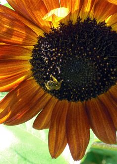 Sun Kissed Bee  Photo by Kathy Sturr