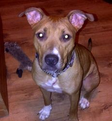 Bailey is an adoptable American Staffordshire Terrier Dog in Enfield, NS. Hello everyone I'm Bailey! I'm a sweet lovable girl. Which my foster mom keeps saying is a good thing as she picks up the tis...