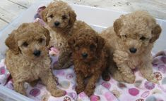 TOY POODLE PUPPIES FROM LACHICPATTE.COM