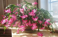 Thanksgiving Cactus in Bloom Christmas Cactus Plant, Easter Cactus, Christmas Flowers, Pink Christmas, Christmas Snoopy, Christmas Trees, Christmas Gifts, Cacti And Succulents, Cactus Plants