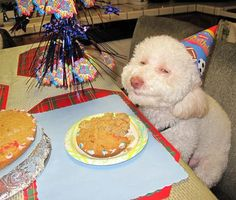 These are three homemade dog recipes that are safe to eat for your dog. You learn to make homemade dog birthday cake, homemade dog food and homemade bacon-flavored dog biscuits. Smiling Animals, Smiling Dogs, Happy Animals, Funny Animals, Cute Animals, Animals Dog, Dog Pictures, Animal Pictures, Funny Pictures