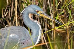 I photographed this tricolored heron at the World Birding Center on South Padre Island, Texas.