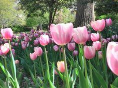 Tulips ©sistersmilesphotography