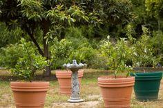 dwarf trees in pots