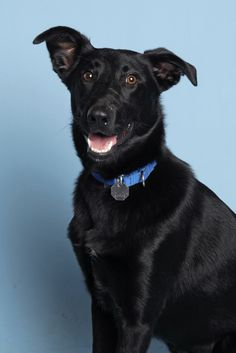 Active and smart, I'm Dolly! A 10 month old Lab Shepherd mix in search of my special family. I love exploring, playing frisbee and swimming! Need a jogging or hiking buddy? I'm your girl! Come say hi today. http://www.homewardpet.org/available-dogs-puppies/