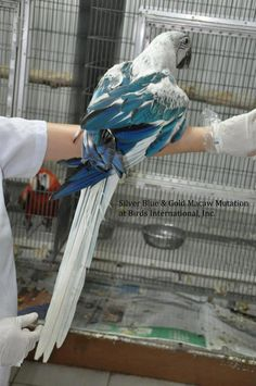 Silver Blue & Gold Macaw Mutation WOW!!! #macaw #Parrot