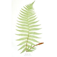 Botanical Leaf Fern, British Fern (7) ❤ liked on Polyvore featuring backgrounds, plants, nature, fillers and leaves