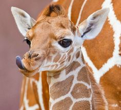 The baby giraffe Was born on my birthday! And was nearly the same size as me!