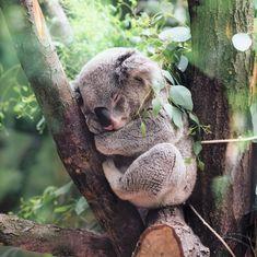Po całym dniu pracy w końcu czas na relax i przyjemności Kto z Was już odpoczywa?   #prettyclevershop #zwierzak #koala #cute #relax #czaswolny #freetime #shoponline #czasnashopping #instafashion #modnapolka #sukienki #polishgirl #zakupyonline #sukienki #kombinezony