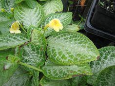 Episcia Jim Hall Camelia Rosa, Nerve Plant, Saintpaulia, Begonia, Pansies, Potted Plants, Houseplants, Flower Arrangements, Beautiful Flowers