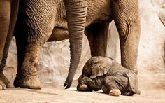 A tiny, newborn elephant sitting underneath its mother<3