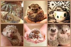 Hedgehog Collage