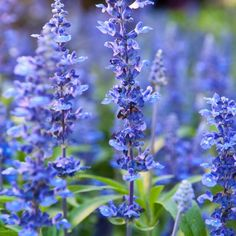Best Garden Seeds Rare Imported Hyssop - Plant Hyssop Seeds, Professional Pack, 20 Seeds, creates a strong, aromatic honey Herb Seeds, Garden Seeds, Planting Seeds, Blue And Purple Flowers, White Flowers, Herb Garden, Lawn And Garden, Spring Plants, Mint Plants