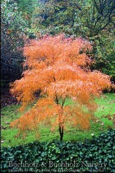 Acer palmatum 'Koto no ito' - Good for containers. Fine green leaves in summer. Dancing Monkey tree.
