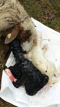 www.karrasfarm.com  Assaf dairy sheep. USA , Greece & Cyprus.