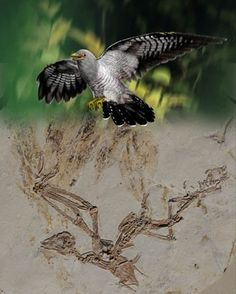 [PaleoOrnithology • 2016] Chiappeavis magnapremaxillo • An Enantiornithine with a Fan-Shaped Tail, and the Evolution of the Rectricial Complex in Early Birds