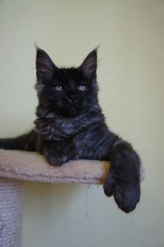 Polydactyl Maine Coon kitten (by Perfect Cat*UA) I Love Cats, Crazy Cats, Cool Cats, Maine Coon Kittens, Cats And Kittens, Hemingway Cats, Polydactyl Cat, Here Kitty Kitty, Hello Kitty