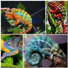 Chameleon collage