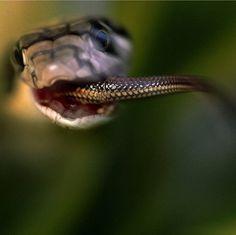 King Cobra eating water snake