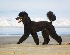 Tiara black poodle on the beach