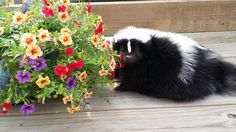 Spring is in the air. Animals Beautiful, Cute Animals, Garden Animals, Mammals, Skunks, Bunny, Black And White, Squirrels, Pets