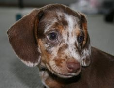 This little guy is Birchwood Lane's Wyatt Earp, my CKC registered miniature dachshund. He's pretty special because he carries three different color modifiers in his genes: chocolate and tan, dapple, and piebald. He also has heterochromea, with one green eye and one partial blue eye. So cute! ♥ (Pictured at 7 weeks.)