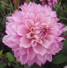 Dahlia 'Hollyhill Pinkie'