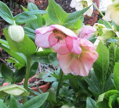 Taken this Easter in our garden. Our Hellebores have been spectacular this year. White Flats, Flat Sandals, Jute, Pearls, Landscape, Yard Ideas, Flowers, Pink, Scenery