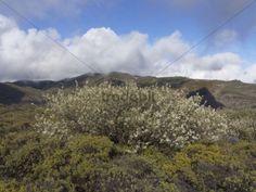 Lucerne Tree or Tagasaste (Chamaecytisus proliferus) Fortaleza La Gomera Canary Islands Spain Europe / La Gomera Vallehermoso Kanaren Spain Europe