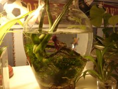 Plants: Philodendron, Java Moss, and Windelov Java fern (tied to riverstones with rubber band) on aquarium gravel.