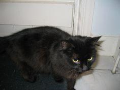 Izzy Cat | Pawshake