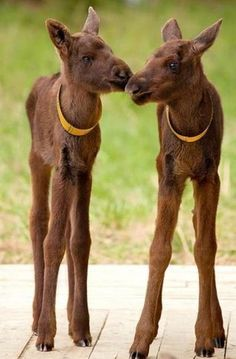 Baby Moose, I couldn't resist!
