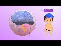 Brain - Human Body Parts - Pre School - Animated Videos For Kids The Human Body, Human Body Unit, Human Body Systems, Human Body Parts, Early Learning, Kids Learning, Body Parts For Kids, School Health, Educational Videos