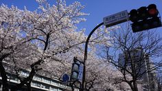 Japanese Cherry Blossom. Taken at the Ministry of Foreign Affairs is in Kasumigaseki, Minato-ku, Tokyo.