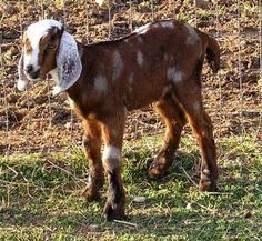 Love Nubian goats!