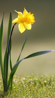 Narzissen & Osterglocke / Narcissus and Daffodil Beautiful Flowers Pictures, Flower Pictures, Pretty Flowers, Yellow Flowers, Spring Flowers, Photos Of Flowers, Flower Images, Flowers Garden, Exotic Flowers