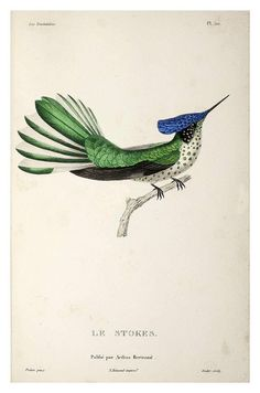 "mudwerks: "" (via BibliOdyssey: Hummingbirds) Le Stokes "" French physician and naturalist René Primevère Lesson enlisted and served in the navy during the Napoleonic wars. Bird Illustration, Botanical Illustration, Botanical Art, Nature Prints, Bird Prints, Bird Book, Feather Painting, Vintage Birds, Exotic Birds"