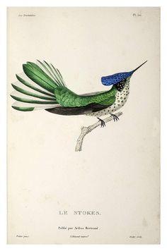 030-Les Trochilidées ou les Colibris et les Oiseaux-Mouches… 1832- René Primevère Lesson